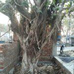 ग्रीनमैन विजयपाल बघेल ने मुख्यमंत्री को शिकायत भेजकर बचाया बरगद का विशाल वृक्ष
